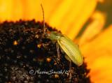 Corn Rootworm Beetle AU7 #2473