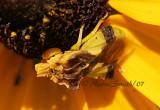 Jagged Ambush Bug AU7 #2660