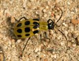 Spotted Cucumber Beetle AU7 #1946