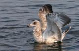 Ring Billed Gull-Yearling