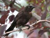 Common Grackle Juvenile