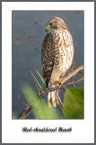 Juvy Red-Shouldered Hawk