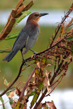 Boat-tailed Grackle (female)