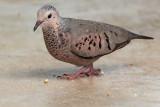 Common Ground-Dove (Rolita)