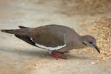 White-winged Dove (Tortola Aliblanca)
