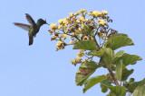 Antillean crested hummingbird (Zumbadorcito Crestado)