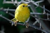 Yellow Warbler (Canario de Mangle)