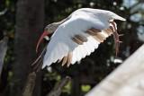 White ibis (molting)