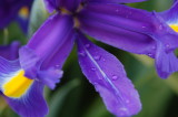 raindrops on the iris