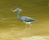 5906 Tri-Colored Heron.JPG
