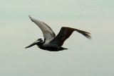 5922 Brown Pelican Flight.JPG