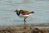 6221 Ruddy Turnstone.JPG