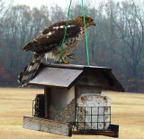 Coopers Hawk on Feeder 2.JPG