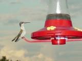 Hummer at feeder.JPG