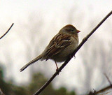 4984 Field Sparrow.JPG