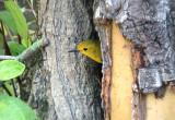 6795 Prothonotary Warbler.JPG