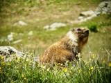7021 Marmot on the Tundra