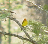 7305 Western Tanager CO.JPG