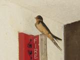 7351 Barn Swallow Curacanti NRA.JPG