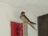 7350 Barn Swallow Curacanti NRA.JPG