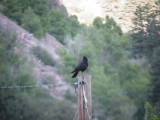 7345 Am Crow.JPG