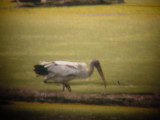 7887 Wood Stork