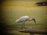 7898 Wood Stork