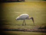 7902 Wood Stork