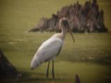 7922 Wood Stork