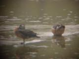7916 Wood Ducks
