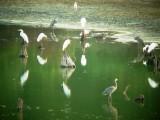 7985 Grt Egrets  GB Herons.JPG