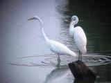 8006 Pair of Grt Egrets.JPG