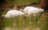 8068 Three Wood Storks.JPG
