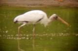8072 Wood Stork.JPG