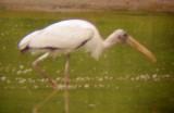 8073 Wood Stork.JPG