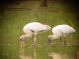 8078 Two Wood Storks.JPG