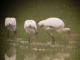 8084 Three Wood Storks Feeding.JPG