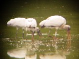 8085 Three Wood Storks Feeding.JPG