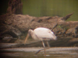 8087 Wood Stork.JPG