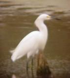 8108 Snowy Egret.JPG