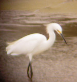 8109 Snowy Egret.JPG