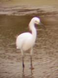 8110 Snowy Egret.JPG
