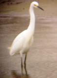 8113 Snowy Egret.JPG