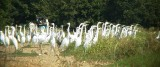 8586 A Gathering of Grt Egrets.JPG