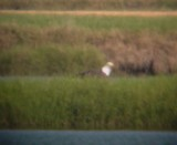 8608 Bald Eagle No 2 on Ground.JPG