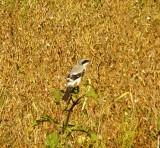 8614 Loggerhead Shrike.JPG