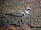 8654 Semipalmated Plover.JPG