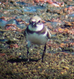 8652 Semipalmated Plover.JPG