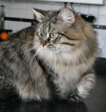 Siberian Cat Amante's Hard Rock aka Lil Jon 10 months