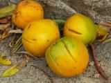 June Plum (Ambarella spondias dulcis ambere), Poipu, Kauai